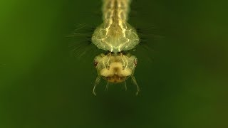 Download A Safe Way To Culture Mosquito Larvae And Feed Your Fish Video