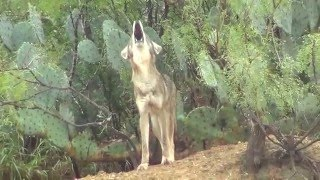 Download Coyote Howling in Mexico Video