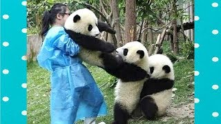 Download FUNNY and CUTE PANDA will make you LAUGH YOUR HEAD OFF | Funny Babies and Pets Video