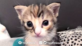 Download Adorable battle between tiny kittens! TinyKittens Video