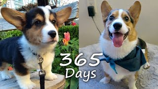 Download Puppyhood in 365 DAYS: A CORGI PUPPY GROWS UP! Video