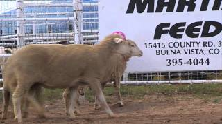Download Mutton Bustin Kids Rodeo Action Video