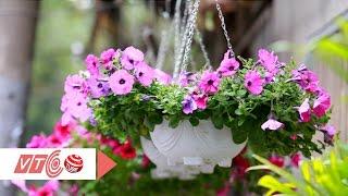 Download Trồng hoa dạ yến thảo chơi Tết | VTC Video