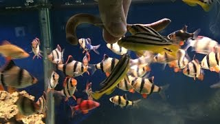 Download Tiger Barbs or Piranha.... DESTROYING a NIGHT CRAWLER with AFRICAN CICHLIDS!! Video