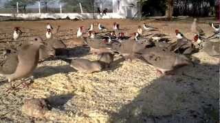 Download Galo de campina Fazenda Dr Zenirton Video