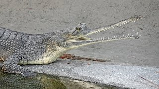 Download L.A. Zoo Welcomes Critically Endangered Indian Gharials Video