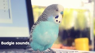 Download Budgie Sounds Meaning Video