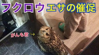 Download 【フクロウ】ごはんの催促が可愛い~♡♡【がんも】 Video