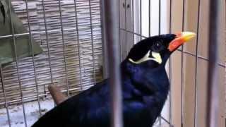 Download Nhồng nói chuyện siêu đẳng (Mynah Bird) 7 Video