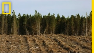 Download Here, Cutting Down Millions of Trees is Actually a Good Thing | National Geographic Video