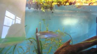 Download How to tell when your Zebra Danios are ready to Spawn Video
