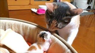 Download 子猫赤ちゃん保護 赤ちゃんと接近先住猫寧々 Video