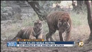 Download Female tiger killed while mating at San Diego Zoo: Officials say incident was not attack Video