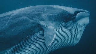 Download Whales and Orcas Feeding Together | BBC Earth Video