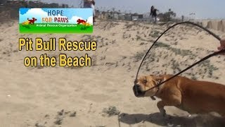 Download Pit Bull rescue on the beach + a surprise guest star. Please share. Video