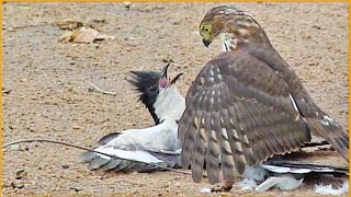 Download Hawk Tries to Kill Cuckoo Bird Video