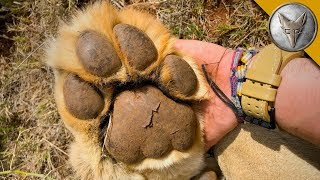 Download Would You Hold PAWS with a LION?! Video