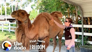 Download Camel So Skinny His Humps Collapsed Gets Strong Enough To Run Free | The Dodo First Taste Of Freedom Video