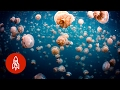 Download Swim Peacefully with Thousands of Jellyfish in Palau Video