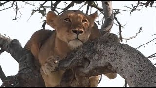Download Pt 1 Safari Live's Sunset Safari Drive at 2:30 PM on Jan 19, 2018 Video