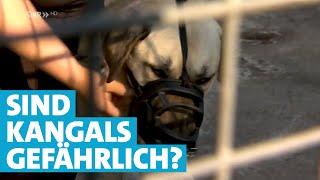 Download Sind Kangals gefährliche Hunde? Video