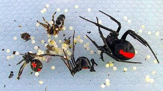 Download Redback Spiders Sunday BBQ Pest Control In Australia Video