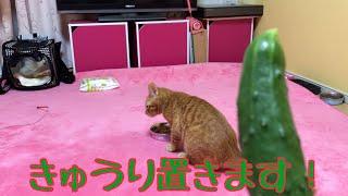 Download 去勢前に猫にきゅうりを置いてみました! Video