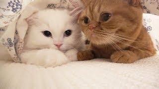 Download 이불 속에 굴을 파고 반겨주는 고양이들 Video