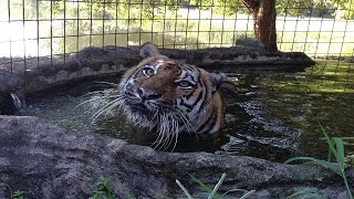 Download Beating The Summer Heat At Big Cat Rescue Video