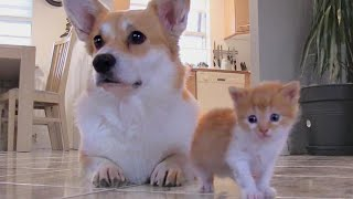 Download Corgi Adopts Kitten With Matching Fur After Losing Puppies in C-Section Video