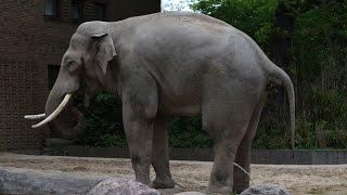 Download Elefant beim pinkeln Video