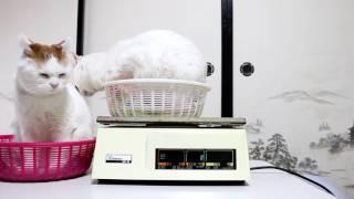 Download かご猫 x 猫の体重測定 2017年2月 Weight of cat 170222 Video