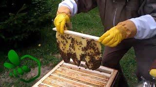 Download Pasieka Początkującego Pszczelarza - #06 Poszerzanie gniazda i dzika zabudowa - Maj 2014 Video