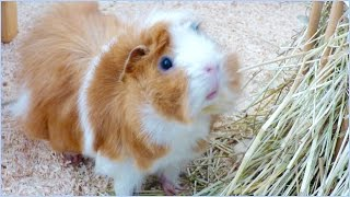 Download 9 Super Interesting Facts About Guinea Pigs Video