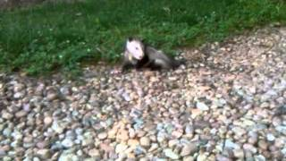 Download rabid salivating opossum Video