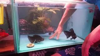 Download 快樂水族養魚教室,金魚產卵与卡蛋處理方法 Video