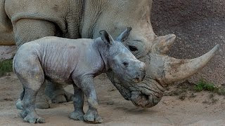 Download San Diego's New Baby Southern White Rhino Could Mean Scientific Breakthrough Video