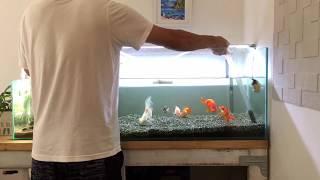 Download 【金魚90cm水槽】水換え&プロホースで底床掃除 :) how to change fish tank water & clean undergravel filter Video