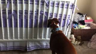 Download Boxer Responds To Newborns First Cries Video