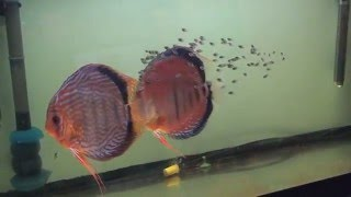 Download Discus spawn (the first 20 days) Video