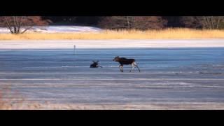 Download Elk on thin ice - Hirvi heikoilla jäillä Video