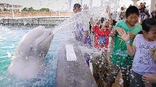 Download シロイルカと水遊び=横浜・八景島 Video