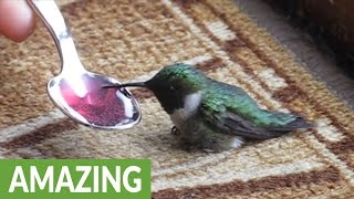 Download Woman rescues dying hummingbird Video