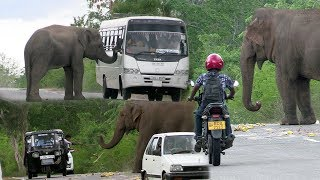 Download Wild elephants waiting for food ! Video
