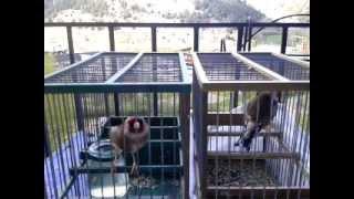 Download Preparando la pega (celo jilgueros) Video