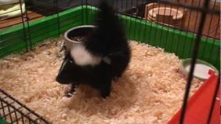 Download Baby Skunk Stamping Video