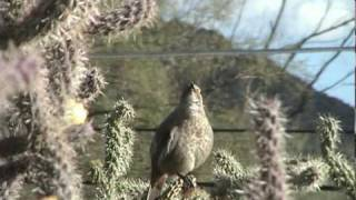 Download Curve-billed Thrasher singing its intricate melodious bird song Video