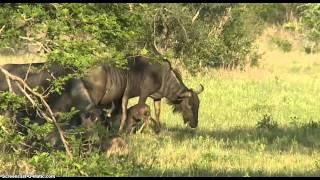 Download Wildebeest Calf Born Today 11/23/2014 Video 1 WildEarth Safari Video