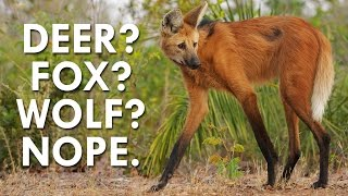 Download Not a Deer, Wolf or Fox, the Maned Wolf is Fascinating Video