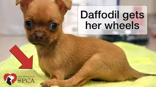 Download Daffodil's Wheels: the Story of a Puppy born without Front Legs Video